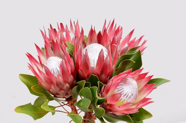 Red protea flower bunch  isolated  on a black  background Premium Photo