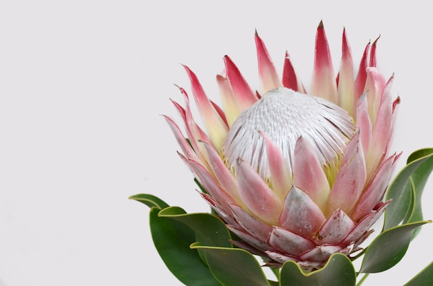 Red protea flower bunch on a white isolated background. closeup. for design. nature. Premium Photo