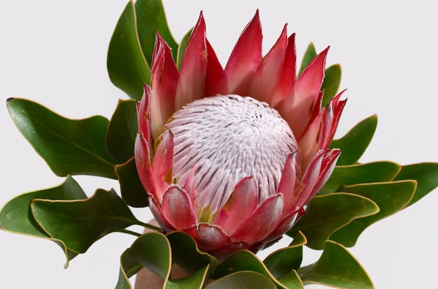 Red protea flower bunch on a white isolated background with clipping path. closeup. for de Premium Photo