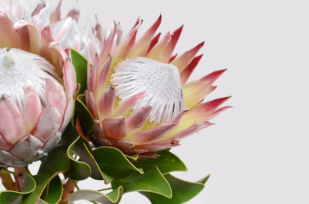 Red protea flower isolated on a white  background Premium Photo