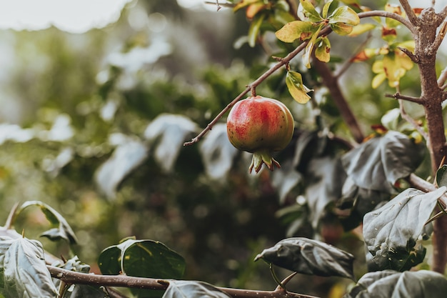 Red ripe pomegranate fruit on the tree in leaves Premium Photo