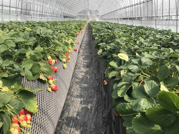 Red ripe strawberry from japanese organic agriculture farmland. Premium Photo