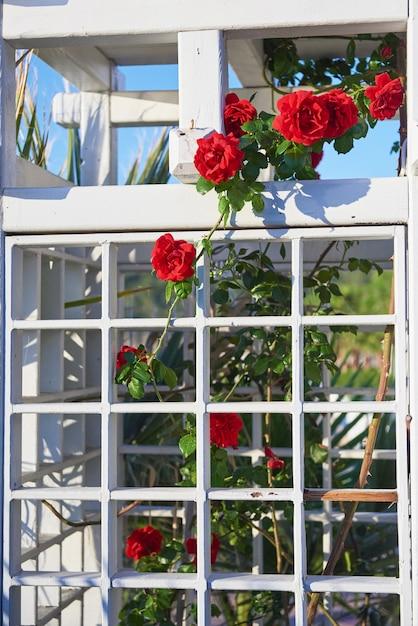 庭の赤いバラの茂みは夏にクローズアップ。 無料写真