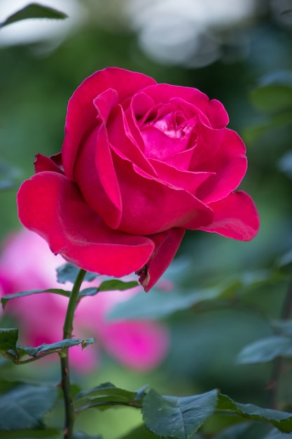 Red Rose Flower In A Garden Photo Free Download