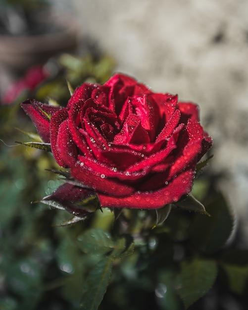 水滴と赤いバラの花 無料写真