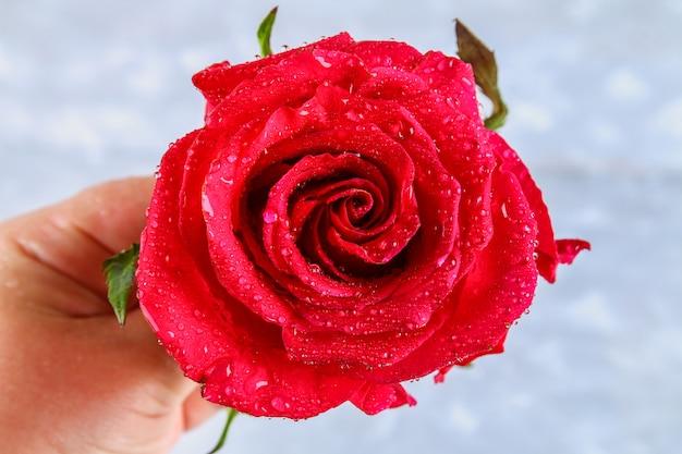 Red rose petals with rain drops closeup. red rose. Premium Photo