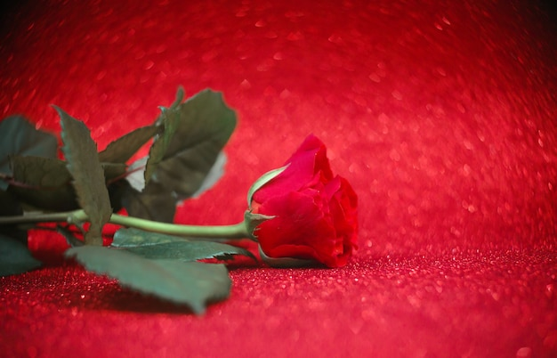 Red rose on a red blured background, copyspase. Premium Photo