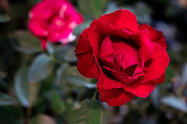 Red rose the symbol of love and valentine Premium Photo