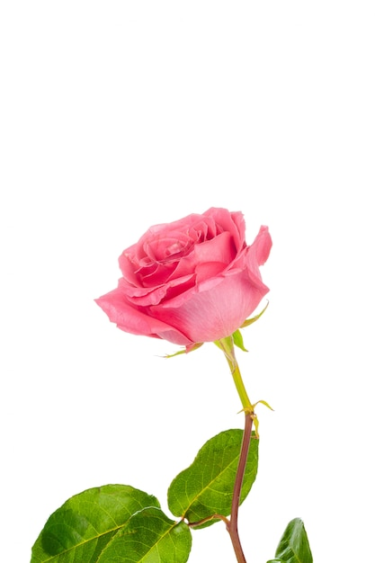 Red rose with green leaves isolated on white Premium Photo