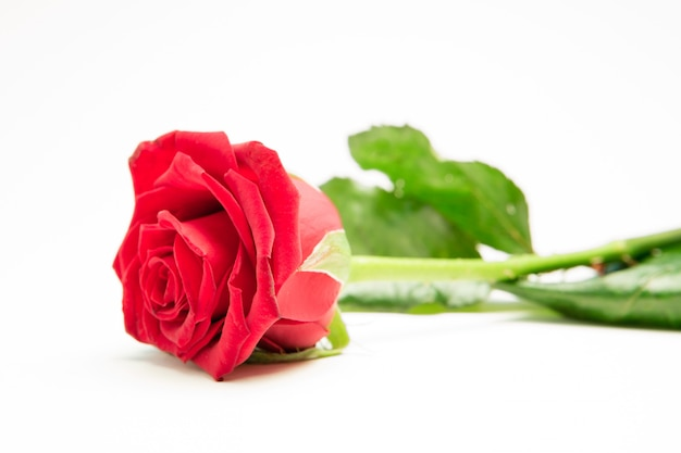 Red rose with stalk and leaves lying on surface Premium Photo