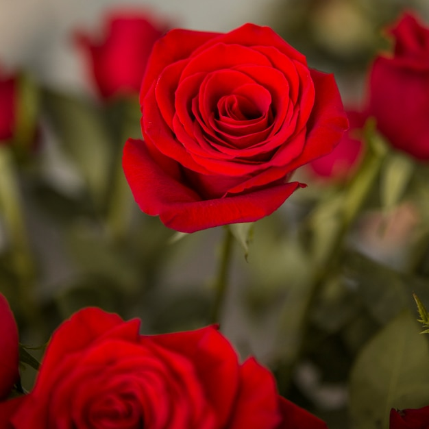 Red roses with blurred background Free Photo