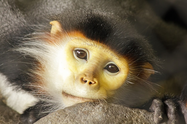 Red-shanked douc langur in the cage Premium Photo