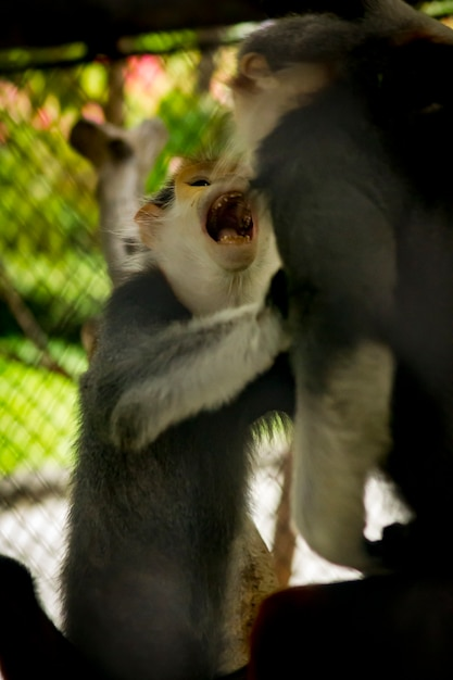 Red-shanked douc langur in the zoo. Premium Photo