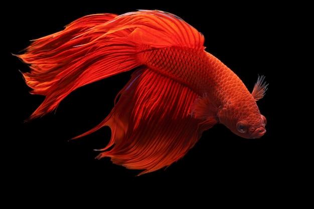Red siamese fighting fish or betta splendens fancy fish on black background Premium Photo