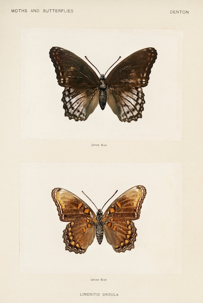 Red-spotted purple (limenitis ursula) from moths and butterflies of the united states Free Photo