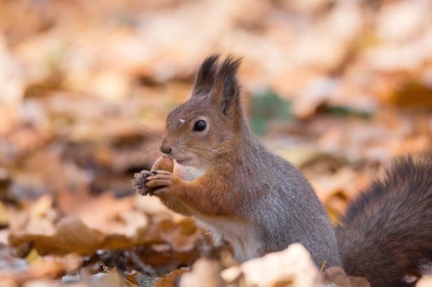 Red squirrel on a branch in autumn Premium Photo