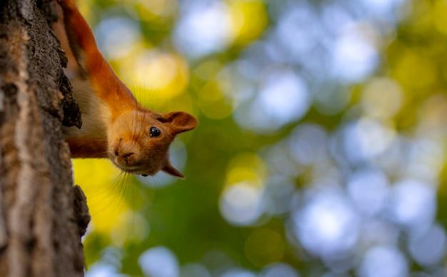 Красная белка на дереве, с красивым bokeh. низкая глубина резкости. Premium Фотографии