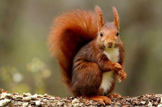 Красная белка, sciurus vulgaris, белка, млекопитающие, животные Premium Фотографии