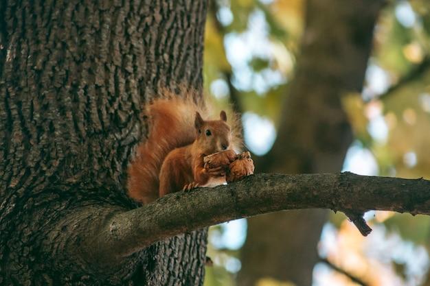 Рыжая белка сидит на ветке и ест орех в осеннем лесу Premium Фотографии