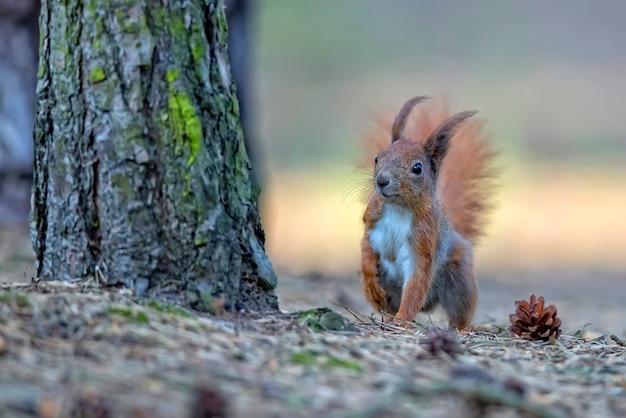 Red squirrel Premium Photo