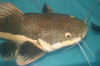Red tail catfish Free Photo