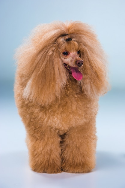 Red toy poodle puppy Free Photo