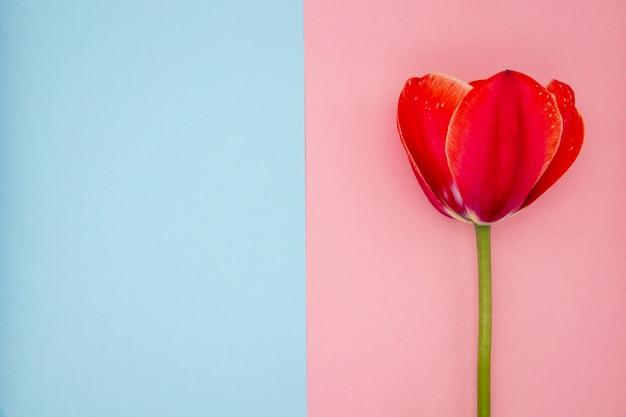 Красный тюльпан на розовом и синем фоне крупным планом Premium Фотографии
