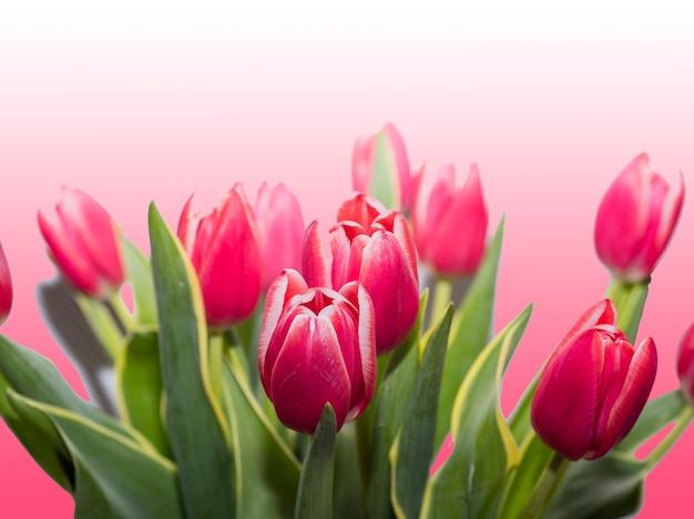 バラの背景に分離された赤いチューリップ。 Premium写真