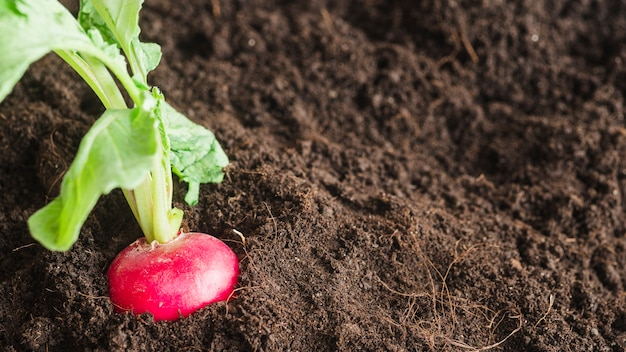 Red turnip growing in the garden Free Photo