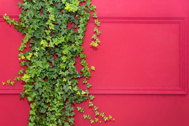 Red wall with frame half covered by common ivy. also known as hedera helix, english ivy or european ivy. copy space Premium Photo