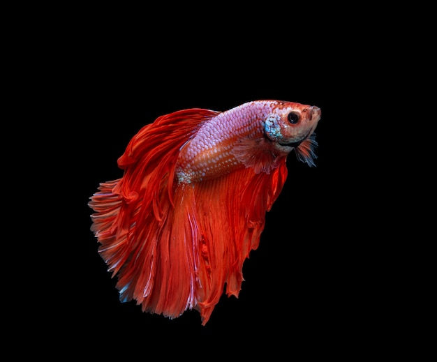 Red and white half moon siamese fighting fish isolated on black background Premium Photo