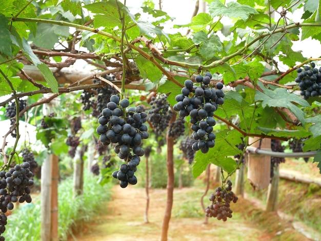 ブドウ園にぶら下がっている赤ワイン用ブドウ。 Premium写真
