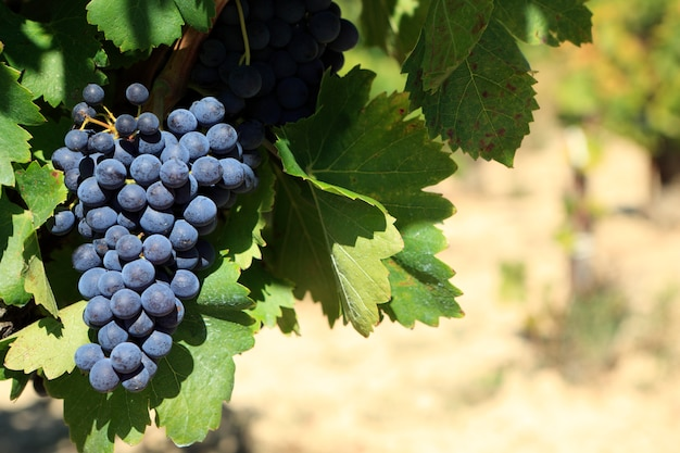 Red wine grapes  Free Photo