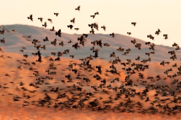 Red-winged blackbirds Premium Photo