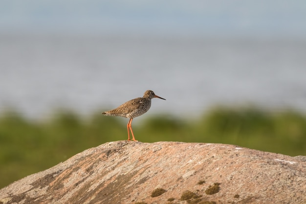 Redshank sitting on a rock in its natural breeding habitat, with soft Premium Photo