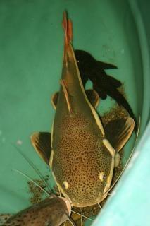 Redtail catfish  tank Free Photo