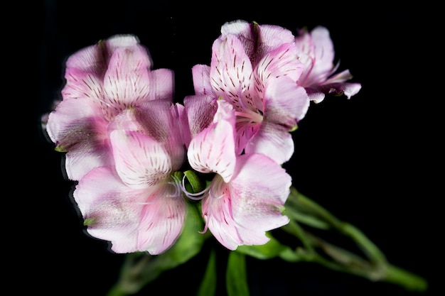 Reflection of purple lily flower over black backdrop Free Photo