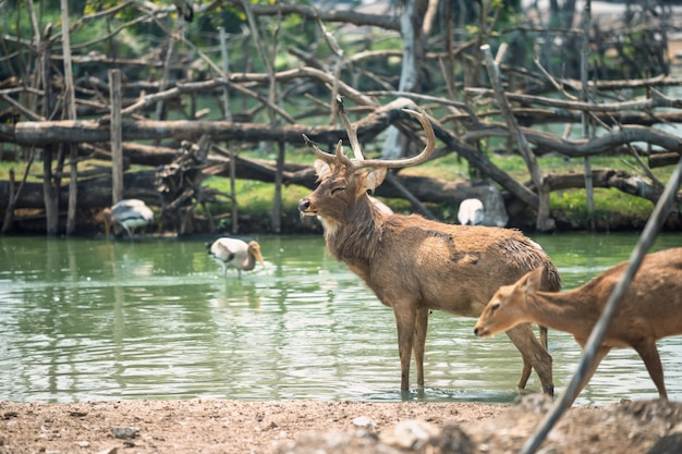 Rein deer with baby in pond Premium Photo