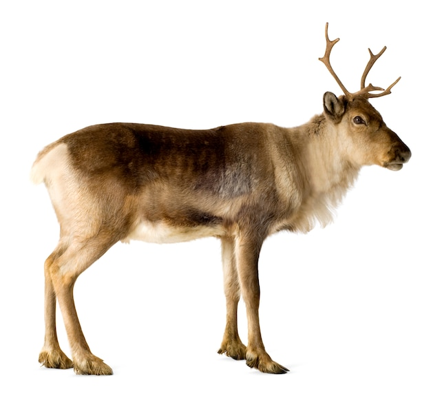 Reindeer (2 years) isolated Premium Photo