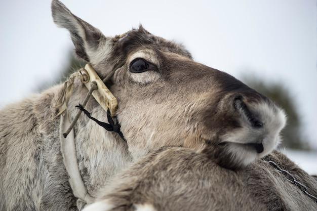 Reindeer closeup. Premium Photo
