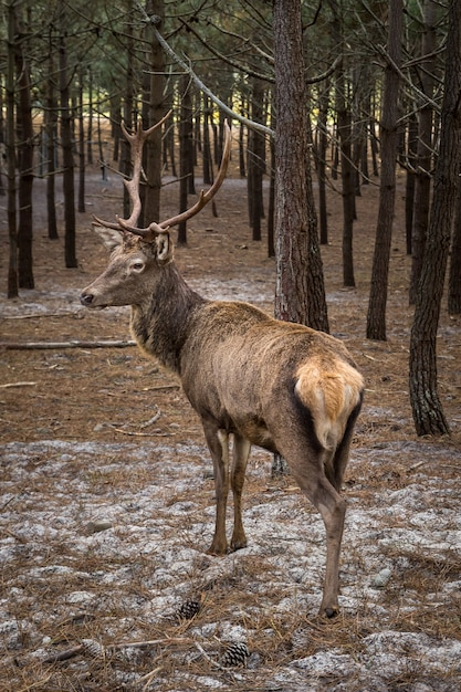 Reindeer looking back near a lot of pine trees in a forest Free Photo