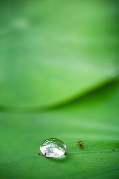 Relation between little insect and water drop on lotus leaf Premium Photo
