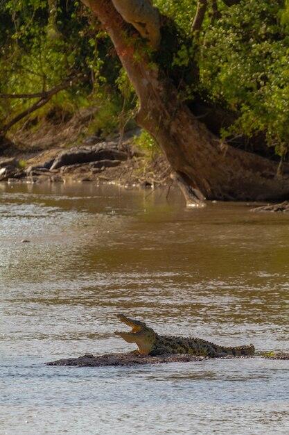 На мелководье отдыхает крокодил. танзания, африка Premium Фотографии