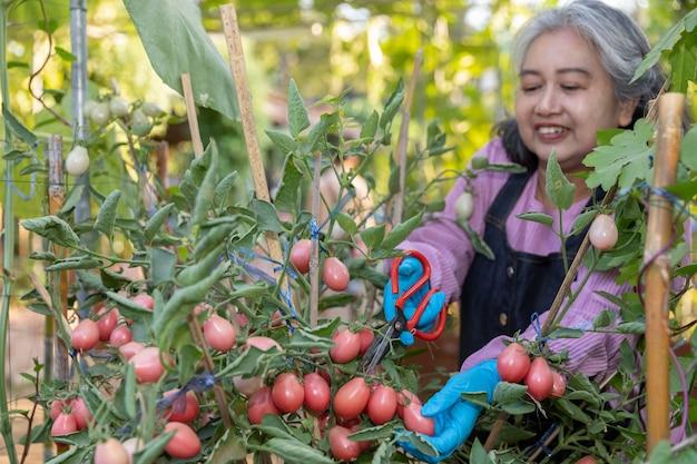 家庭菜園で幸せと収穫の赤いトマトを引退した年配の女性。 Premium写真