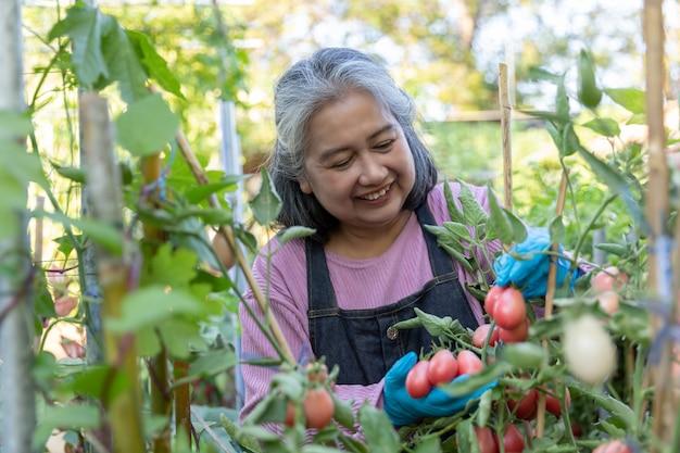 家庭菜園で赤いトマトに満足して引退した年配の女性。 Premium写真