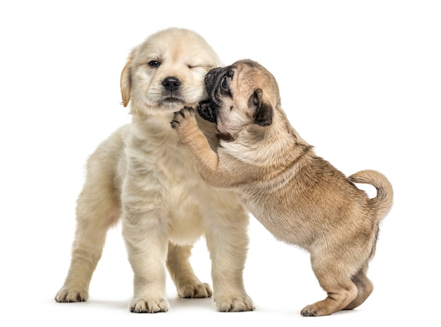 Retriever and pug puppies playing together, isolated on white Premium Photo