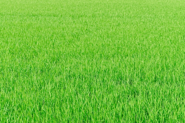 Rice farm green paddy field nature background texture Free Photo