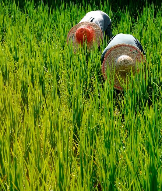 Rice farmers in malaysia Premium Photo