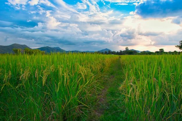 Rice field green grass blue sky cloud cloudy landscape thailand Premium Photo