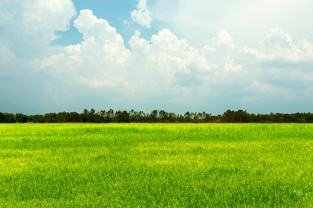 Rice field green grass with blue sky and cloudy landscape. Premium Photo
